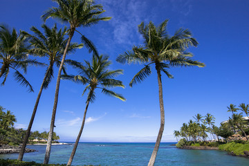 ハワイ島のワイコロアのヤシの木