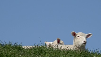 Lamb lying on Meadow and looking