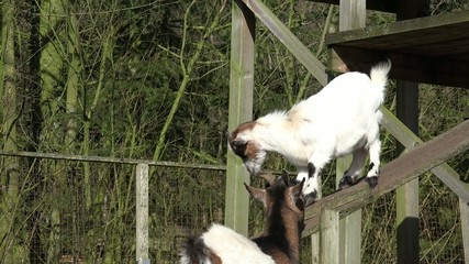 goat and goat kid climbing on wood in the nature