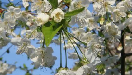 Цвети вишни