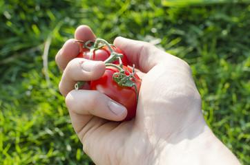 Human hand keep a tomatoes