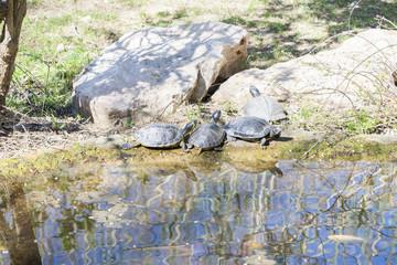 very old tortoise