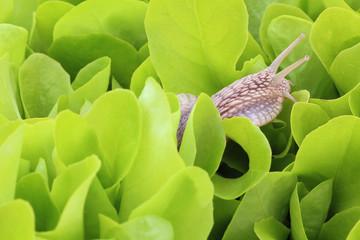 snail / snail on young lettuce