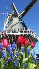 Tulips and windmill in Keukenhof garden Netherlands