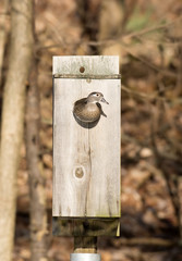 female wood duck in nest box