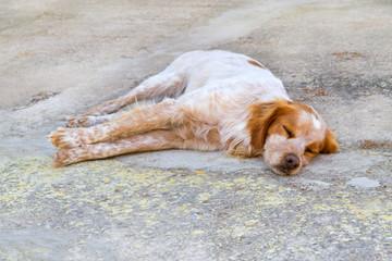 Hund Epagneul Breton beim Schlafen