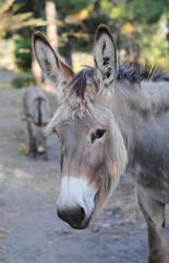 Esel auf Korsika