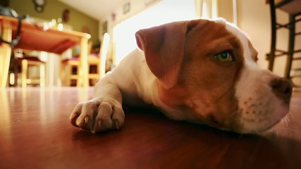 Close-up of Cute Dog with Adorable Expressions American Bulldog