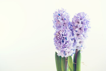 hyacinth growing in a pot