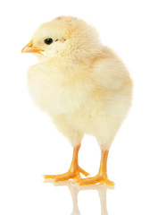 little chicken isolated on a white background