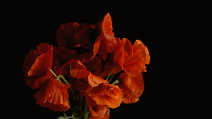 Poppies red black shadowy strong wind