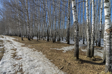The edge of a birch grove in the early spring