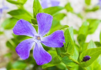 flor de enredadera