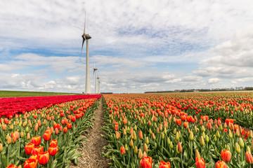 wind mill in a field of red tulips