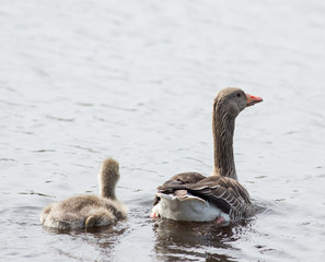 mother with ducklings on water surface