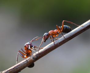 Two ants meet in garden