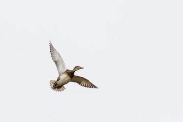 Female Gadwall (Anas strepera) in flight.
