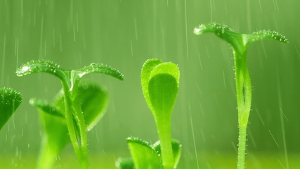 Salad sprouts become wet in the rain. 4K UHD video.