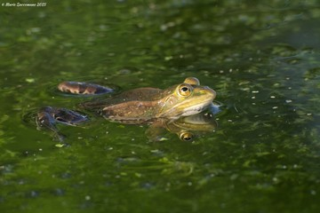 Edible or common water frog (Pelophylax kl. Esculentus)