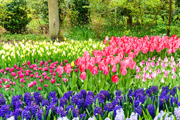 Wonderful tulips field of Keukenhof, Netherlands