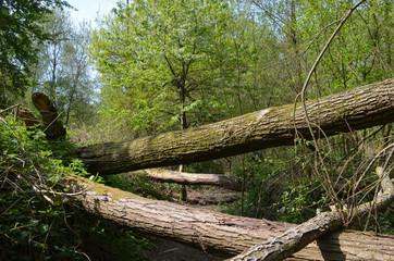 Stems of fallen trees after storm, the Zandbergen