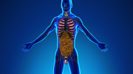 Anatomy of Human Digestive System - Medical X-Ray Scan
