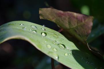 Morgentautropfen auf grünem Blatt