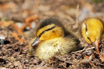 Sleepy Mallard Duckings, Closeup