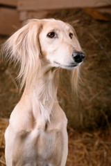 Saluki portrait (head only) on a background of hay