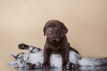 Labrador puppy and kitten breeds Maine Coon.