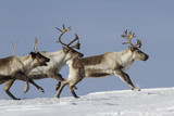 Reindeer that run on a snowy tundra winter day