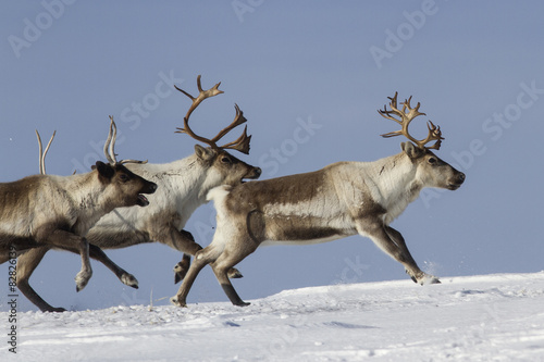 Reindeer that run on a snowy tundra winter day Poster
