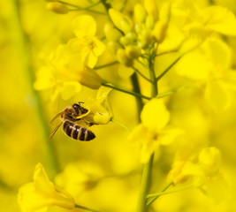 Working bee on canola plant.