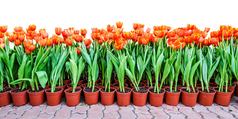 Orange Tulips in pots for planting.