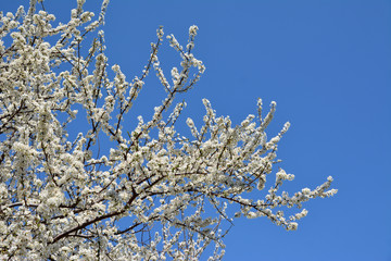 white sweet cherry Blossom Tree