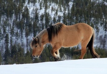 Icelandic Horse in the Mountains