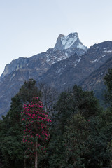 Fish Tail or Mt.Machhapuchhare in Annapurna Trekking Trail Nepal