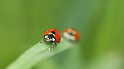 Two Ladybugs On A Blade Of Grass