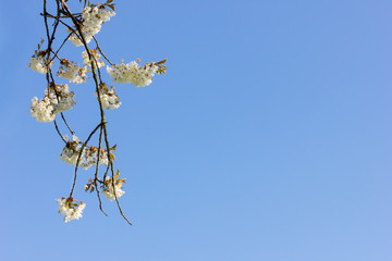 Frühlingsblüten hängen herunter