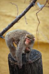 Macaque MOTHER.