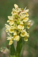 Dactylorhiza sambucina gialla: fiore selvatico di montagna