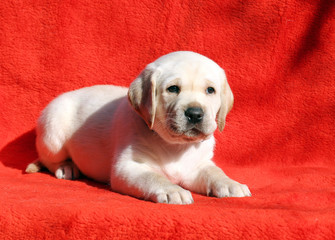 the labrador puppy on a red background