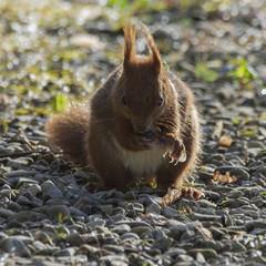 Écureuil mangeant une graine d'érable