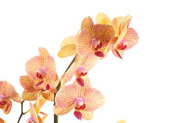 particolare di ramo di orchidea
