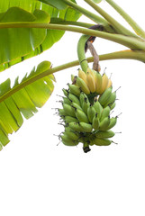 Bunch of Bananas on tree isolated on white background