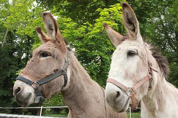 two donkeys in the farm