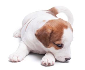 sad lone puppy Jack Russell