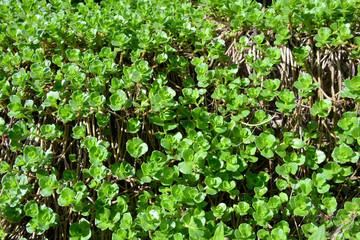 Steingarten Pflanzen grün