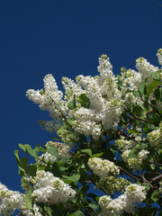 flowering of white lilac