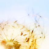 Fototapeta Detail einer Pusteblume (Löwenzahn) im Sonnenuntergang